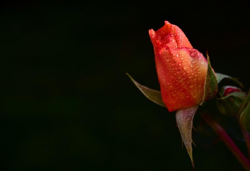 rose-3718026_1280